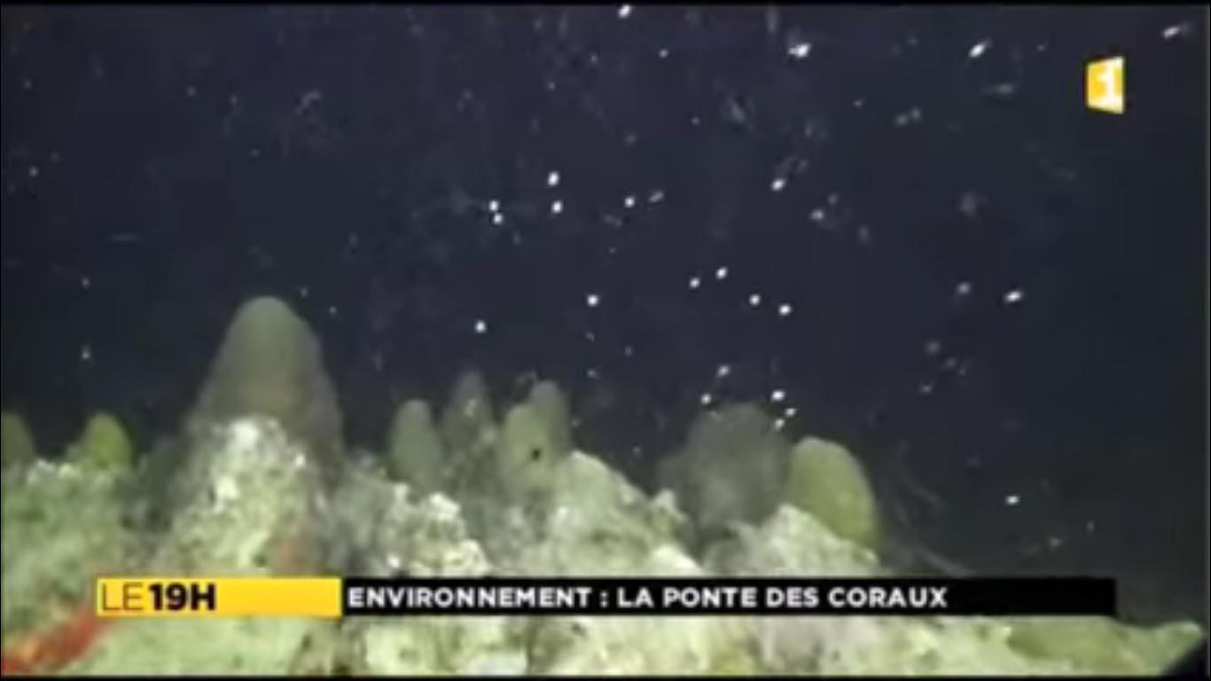 Ponte de corail étoile lobé en Martinique