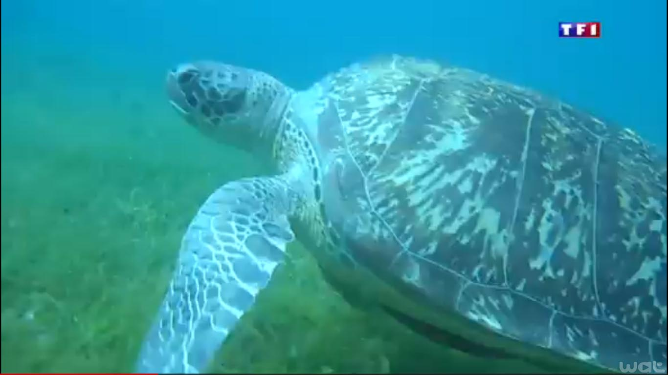Tortue marine verte en Martinique