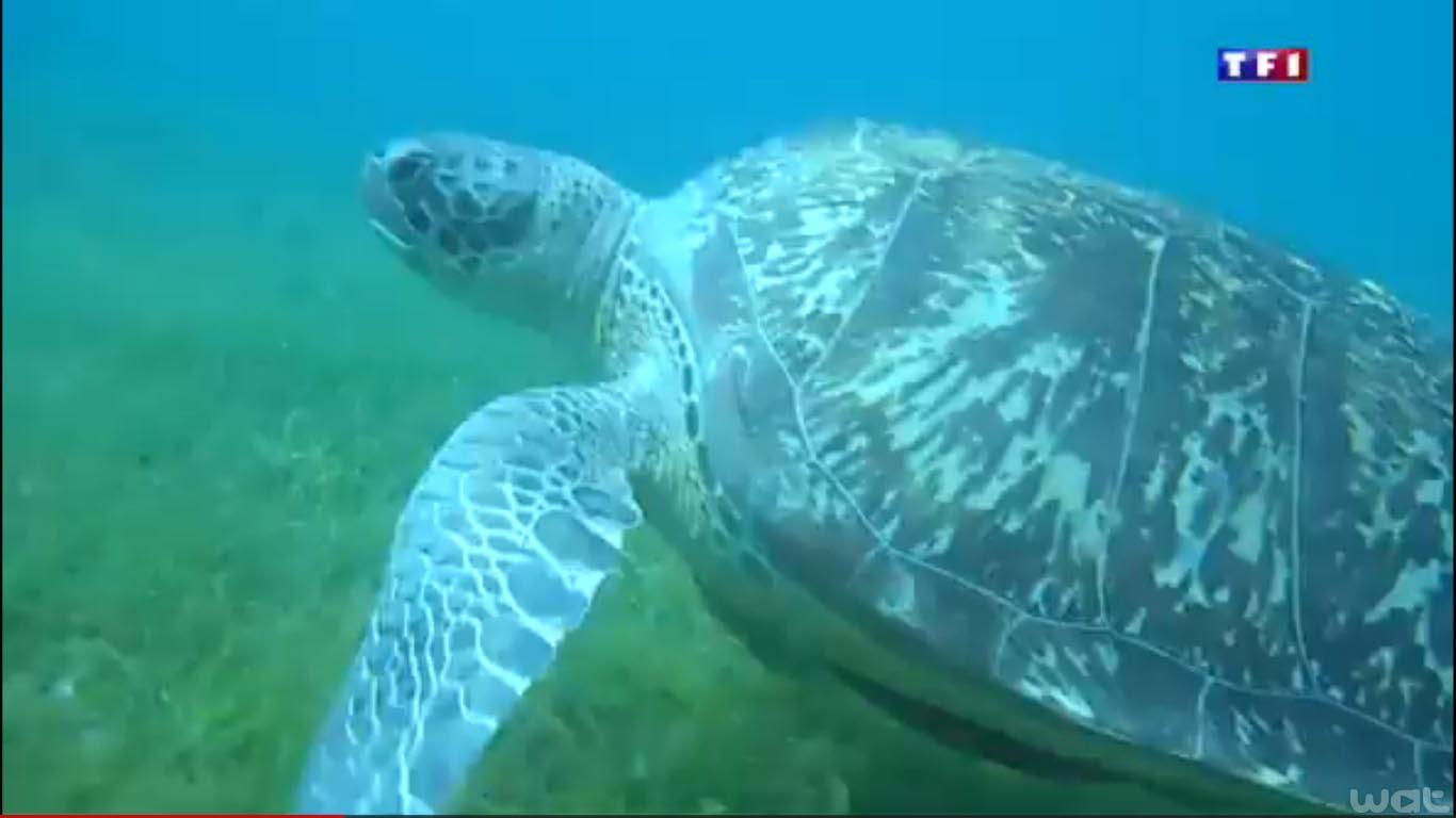 Tortue marine verte en Martinique