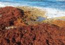 Les sargasses sont de retour dans les Antilles